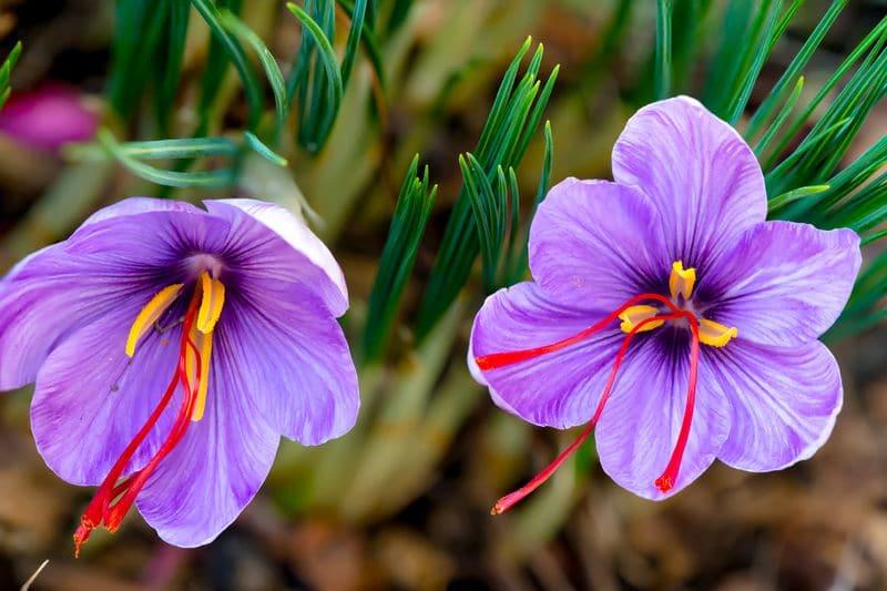 Sonoran Spice Saffron Rose in Kashmir Field