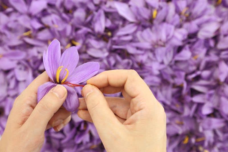 Harvesting Saffron - Sonoran Spice
