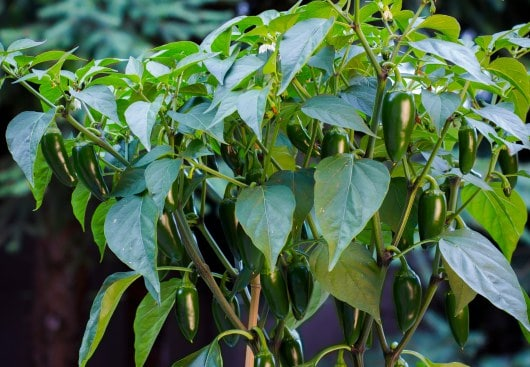 Growing your own chili peppers | Sonoran Spice | Jalapeno peppers on the plant